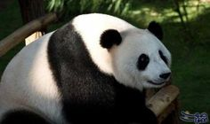 """وفاة """"بان بان"""" أكبر دب باندا ذكر…: أعلنت الصين وفاة """"بان بان"""" أكبر دب باندا ذكر سنا يعيش فى الأسر فى العالم وذلك بعد أربعة أشهر فقط من…"""