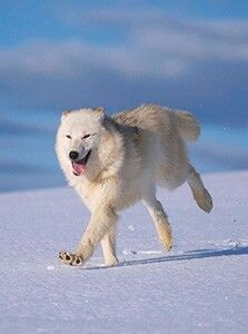 Arctic wolf running in snow - View amazing Grey wolf photos - Canis lupus - on Arkive Wolf Photos, Wolf Pictures, Running In Snow, Maned Wolf, Arctic Wolf, Wolf Stuff, Wolf Love, Forest Creatures, Majestic Animals