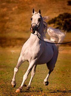 El Nabila B :: AHBA - Arabian Horse Breeders Alliance