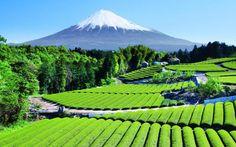 Plantation de thé, près du Mont Fuji, Japon
