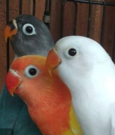 Love Birds Pet, Cute Birds, Love Pet, Cute Baby Animals, Animals And Pets, Funny Animals, African Lovebirds, Conure Bird, Funny Birds