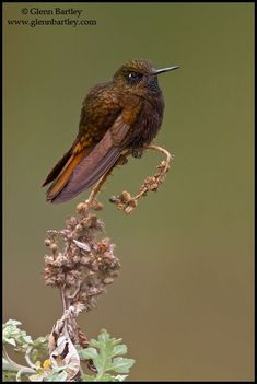 Black Metaltail (Metallura phoebe) is a species of hummingbird found in Bolivia and Peru. Its natural habitats are subtropical or tropical moist montane forests and subtropical or tropical high-altitude shrubland.  (Amazing collection of hummingbird photos by Glenn Bartley attached)
