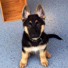 German Shepard puppy!