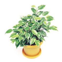 Ficus benjamina 'Little Angel de Oro' Ficus, Houseplants, Indoor Plants, Costa, Angel, Gardening, Gold, Inside Plants, Indoor House Plants