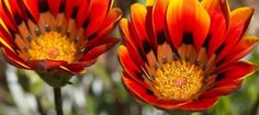 Clanwilliam veld flowers. BelAfrique - Your Personal Travel Planner - www.belafrique.co.za