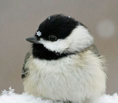 *A little chickadee in East Tennessee*