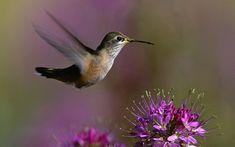 Hummingbird+Flowers | Hummingbird Flowers Wallpaper - Bird Wallpapers and pictures for ...