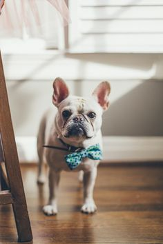 french bulldog cutie.
