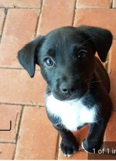Wanted German Sheppard X Collie Dogs Puppies Gumtree