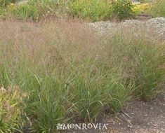 Monrovia's Shenandoah Switch Grass details and information. Learn more about Monrovia plants and best practices for best possible plant performance. Plants, Grass, Monrovia Plants, Landscape, Native Plant Landscape, Plant Catalogs, Ornamental Grasses, Front Yard Landscaping, Grass Textures