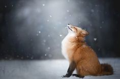 https://flic.kr/p/SEDw3Q | Feeling the Winter | Red fox feeling good during snowy day ♥