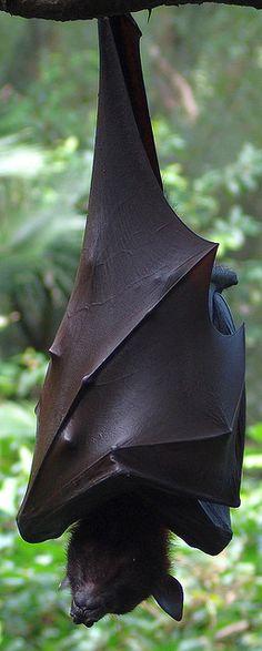 Malayan Flying Fox {pteropus vampyrus}; megabat