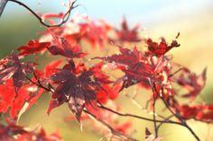Foggy Maple leaves