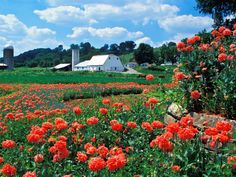 This is my dream... Own some small farm land in Bardstown, KY. With some chickens, cats, dogs and bees. And a garden. Poppies in Bardstown, KY