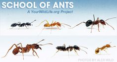 Rookies use Cookies in Science Alliance to Track Ants' Advance Ace Exterminators
