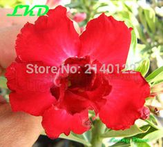 7 to12 inch Rooted Adenium Obesum Plant Thailand Rare Real Desert Rose Plants no123-Double-Red-petite