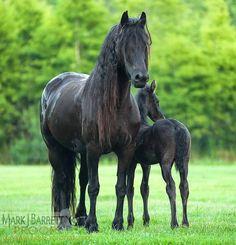 2377-29.jpg :: Friesian horse mare and foal