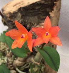 Cattleya cernua CH-21780 #cattleya #sophronitis #orchid #orchidsbyhausermann | by Orchids by Hausermann