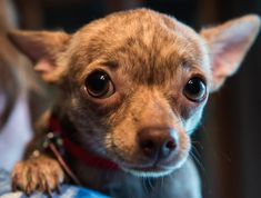 Meet Sparrow, an adopted Chihuahua Mix Dog, from One More Dog Rescue (Formerly Ruff Start Happy Tails) in Torrington, CT on Petfinder. Learn more about Sparrow today. Chihuahua Rescue, Baby Chihuahua, Rescue Dogs, Cute Puppies, Cute Dogs, Dogs And Puppies, Corgi Puppies, Doggies, Baby Animals