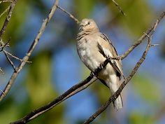 Foto rolinha-picui (Columbina picui) por Emerson Kaseker | Wiki Aves - A Enciclopédia das Aves do Brasil