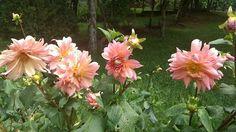 Dálias - as flores do meu jardim!#dalias #flores#flowers #flowerspictures #jardim #garden #caxiasdosul #viagensebeleza