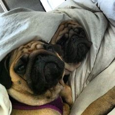 Shhhh! We're trying to sleep here! #pugs #snooze