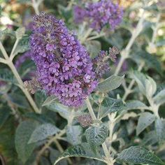 Buddleja 'Lochinch'atSan Marcos Growers A vigorous growing semi-evergreen shrub that grows to 12 to 15 feet tall and as wide with 8-10 inch long silvery-gray leaves.