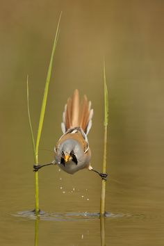 Amazing bird pictures from Edwin Kats. 500px.com   Bearded Reedling balancing flexible over water. Bird Watching.   Love it!  Like and Share this one!!    From:  Justin Donnelson - Artist Photographer  http://www.facebook.com/artistphotographerjustindonnelson  Twitter:  http://www.Twitter.com/JustinDonnelson
