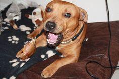 Memfis - DoggieBag.no #DoggieBag #Hund #EngelskStaffordshireBullTerrier #StaffordshireBullTerrier