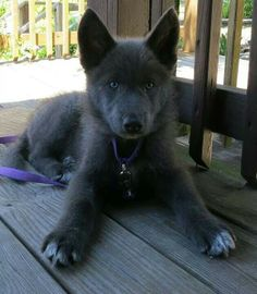 Black German Shepherd dogs mix has resulted in other breeds of dogs like Pugs, Collies, Huskies, and more.This brings out best qualities of both dog breeds. Baby Puppies, Cute Puppies, Cute Dogs, Dogs And Puppies, Doggies, Puppies Tips, Cute Funny Animals, Cute Baby Animals, Animals And Pets