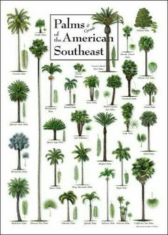 Shade Garden Flowers And Decor Ideas Palm Tree Identification Chart Palm Trees Garden, Palm Trees Landscaping, Florida Landscaping, Tropical Landscaping, Garden Plants, Tropical Garden Design, Tropical Plants, Palm Tree Identification, Palm Tree Types