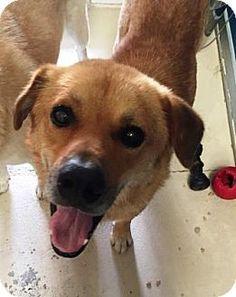 Bryan, TX - Shepherd (Unknown Type) Mix. Meet , a dog for adoption. http://www.adoptapet.com/pet/16122094-bryan-texas-shepherd-unknown-type-mix