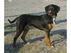 I want a Transylvanian Hound and I shall name him Vlad :)