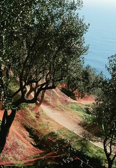 Uliveti sul Mar Ligure, © Paolo Gassani