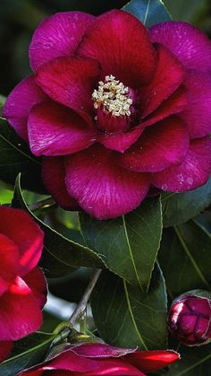 FLOWERS:  Camellia - a rich saturated, almost irridescent wine/rose colored blossom.  Oh the splendour of the Creation.