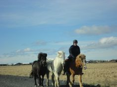 Icelandic horses on the road
