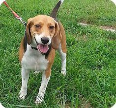 Seaford, DE - Beagle. Meet AXL, a dog for adoption. http://www.adoptapet.com/pet/11308937-seaford-delaware-beagle