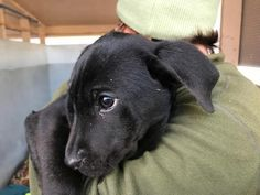 Freeport, FL - Meet Jensen, an adoptable female Labrador Retriever looking for a forever home; Located at Alaqua Animal Refuge Freeport, FL