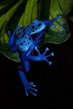 Como veis en la imagen, es una rana, que todo su cuerpo es de color azul con puntos negros. Respira por branquias al nacer y por pulmones cuando ya son adultos. Los adultos tienen patas y son ovíparos