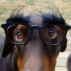 Groucho Doberman