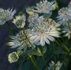 Astrantia major subsp. involucrata 'Shaggy'. Fairy circle Jun-Sep