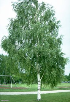 European White Birch (Betula pendula)