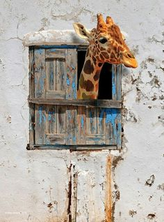 giraffe ♥♥♥ uploaded by Shorena Ratiani on We Heart It Animals And Pets, Baby Animals, Funny Animals, Cute Animals, Giraffe Pictures, Animal Pictures, Giraffe Art, Elephant, Beautiful Creatures