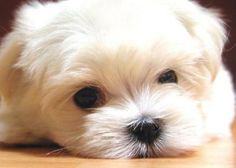 Such a cute little furry Maltese pup face.