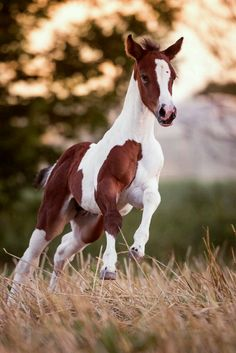 Paints 038 More Claudia Rahlmeier Most Beautiful Horses, Pretty Horses, Horse Love, Animals Beautiful, Cute Baby Horses, Cute Baby Animals, Horses And Dogs, Wild Horses, Horse Photos