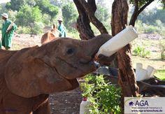 Alle drei Stunden bekommen die noch milchabhängigen Elefantenbabies Milch gefüttert. Aga, Elephant, Animals, Baby Cubs, January, Elephants, Milk, Flasks, Animales