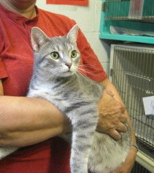 Lizzie is an adoptable Domestic Short Hair - Gray And White Cat in Kittanning, PA. Lizzie is a beautiful gray and white Domestic Short Hair. She is a lovable little girl. Lizzie loves to play and has ...