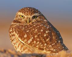 Burrowing owl before sunset