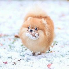 It startet to snow again and I remembered that I forgot my toy outside - I immediately ran outside to save it @missyminzi Double tap to ❤️ Follow for more cute pics @thedailypomeranian Find us on Facebook - link in our bio Follow our partner @cool.angel369_ ❤️ #pomeranian