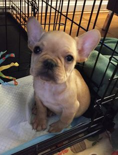 Don't use the French Bulldog breed's stubborn nature as an excuse house train a French Bulldog in a week by using a consistent routine and tips! Merle French Bulldog, French Bulldog Puppies, Modern Dog Toys, Dog Grooming Shop, Training Your Puppy, Training Tips, Bulldog Breeds, Girl And Dog, Working Dogs